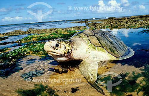 (Lepidochelys olivacea) Tartaruga Oliva - Praia do Forte - Linha Verde - Costa dos Coqueiros - norte da Bahia - Brasil  Sede regional do Projeto TAMAR de Tartaruga Marinha  - Mata de São João - Bahia - Brasil