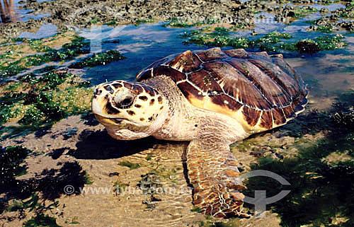 (Lepidochelys olivacea) Tartaruga Oliva - Praia do Forte - Linha Verde - Costa dos Coqueiros - norte da Bahia - Brasil. Data: 2002  Sede regional do Projeto TAMAR de Tartaruga Marinha