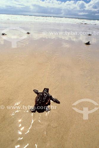 Filhote de tartaruga indo em direção ao mar - Brasil