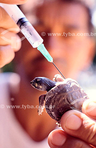 Tartaruga recebendo injeção - Projeto de preservação - Brasil