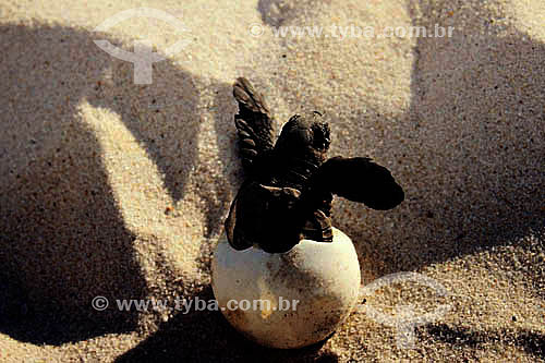 Nascimento de tartaruga marinha - Praia do Forte - Sede regional do Projeto TAMAR de Tartaruga Marinha  - Mata de São João - Bahia - Brasil