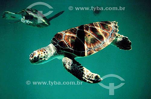 (Lepidochelys olivacea) Tartaruga Oliva - Praia do Forte - Sede regional do Projeto TAMAR de Tartaruga Marinha  - Mata de São João - Bahia - Brasil