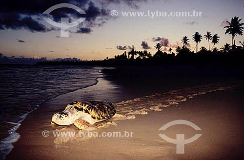 Tartaruga marinha na areia da Praia do Forte - Sede regional do Projeto TAMAR de Tartaruga Marinha  - Mata de São João - Bahia - Brasil