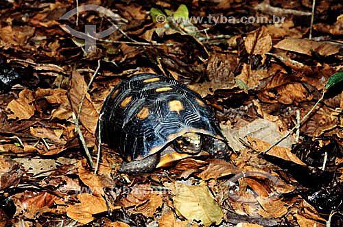 (Geochelone Carbonaria) - Jabuti - Brasil / Data: 2006