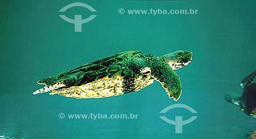 (Lepidochelys olivacea) Tartaruga Oliva nadando - Praia do Forte - Sede regional do Projeto TAMAR de Tartaruga Marinha  - Mata de São João - Bahia - Brasil