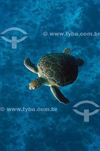 Tartaruga-verde (Chelonia mydas) - Fernando de Noronha - PE - Brasil - dezembro 2006               - Fernando de Noronha - Pernambuco - Brasil