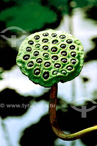 Assunto: Detalhe das sementes da Flor de Lótus (Nelumbo nucifera)