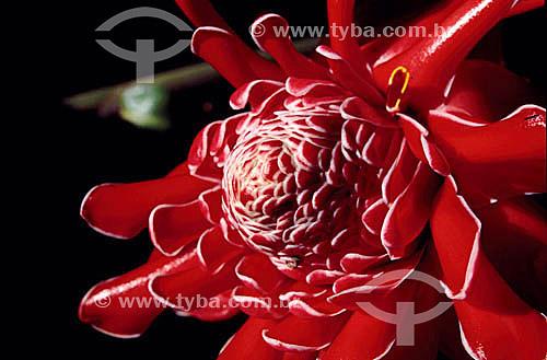 (Phaeomeria magnifica) - Bastão do Imperador - flor -  Mata Atlântica - Brasil