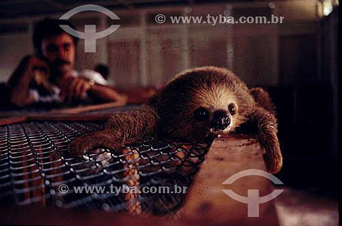 Ambiental - Animais - Mamífero - Bicho-Preguiça - Resgate de animais na inundação da construção da Hidroelétrica Tucuruí - PA - Brasil  - Tucuruí - Pará - Brasil