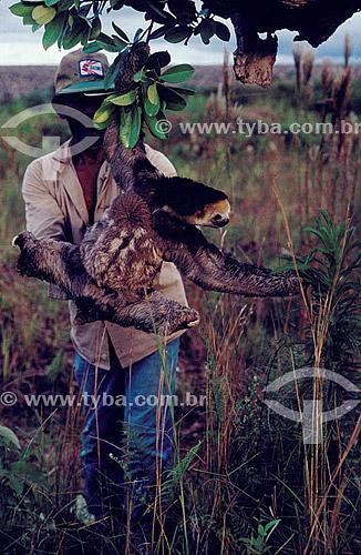 Ambiental - Homem resgatando animais (bicho-preguiça) na inundação da construção da Hidroelétrica Balbina - AM - Brasil  - Presidente Figueiredo - Amazonas - Brasil