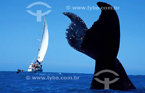 Cauda de Baleia Jubarte com barco à vela ao fundo - Abrolhos  - Costa das Baleias - litoral sul da Bahia - Brasil / Data: 2007  O Parque Nacional Marinho de Abrolhos foi criado em 6 de abril de 1983.
