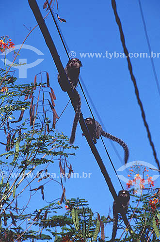 (Callithrix penicillata) Mico-Estrela em linha elétrica - Morro de São Paulo - Costa do Dendê - litoral sul da Bahia  - Cairu - Bahia - Brasil