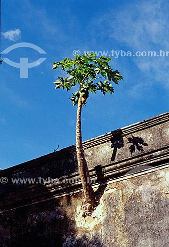 Mamoeiro atravessando muro - Arquipélago de Fernando de Noronha  - PE - Brasil  O arquipélago Fernando de Noronha é Patrimônio Mundial pela UNESCO desde 16-12-2001.  - Fernando de Noronha - Pernambuco - Brasil