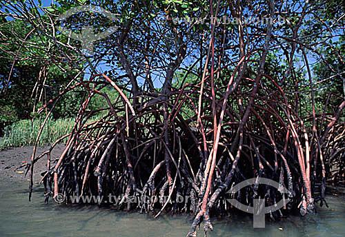 Raízes aéreas de manguezal na entrada da restinga de Marambaia, que pela rica diversidade é local de preocupação e pesquisa de ambientalistas - Barra de Guaratiba - Rio de Janeiro - RJ - Brasil  - Rio de Janeiro - Rio de Janeiro - Brasil