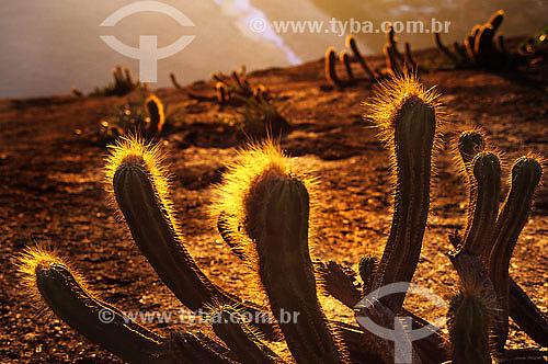 Cactus em Itacoatiara - Niterói - RJ - Brasil  - Niterói - Rio de Janeiro - Brasil