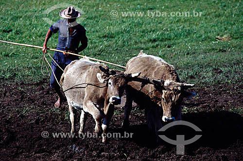 Homem arando a terra com carro de boi - RS - Brasil  - Rio Grande do Sul - Brasil
