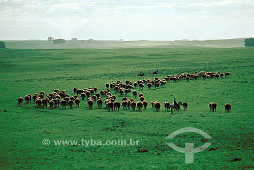 Paisagem nos Pampas Gauchos com rebanho de gado e gaucho em seu cavalo - Rio Grande do Sul - Brasil / Data: 1996