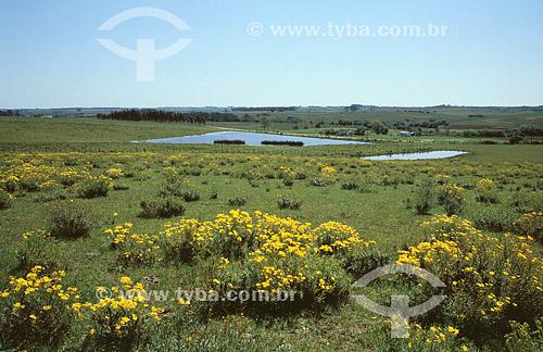 Paisagem dos Pampas Gaúchos , pasto - Bagé - Rio Grande do Sul - Brasil -  Outubro 2000  - Bagé - Rio Grande do Sul - Brasil
