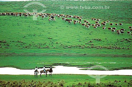 Vaqueiros gaúchos e gado na paisagem - RS - Brasil  - Rio Grande do Sul - Brasil