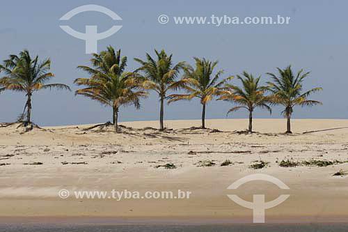 Coqueiros na margem esquerda da foz do Rio São Francisco - divisa de Alagoas e Sergipe - AL - Brasil   - Sergipe - Brasil