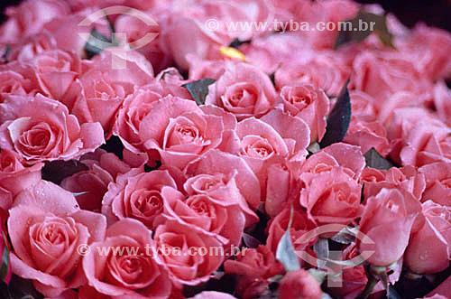 Rosa - flor