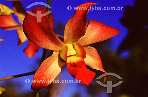 Orquídea rosa (Cattleya sp.)Manaus - AM (setembro de 2001)  - Manaus - Amazonas - Brasil