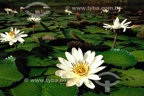 (Nymphaea alba) Flor Nenúfar - CE - Brasil  - Ceará - Brasil