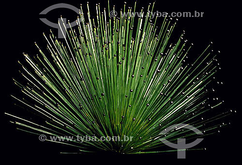 (Paepalanthus sp.) - Chuveirinho - flor / Data: 08/2000