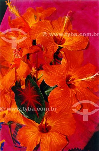 Assunto: Hibisco - Planta originária da Ásia tropical  / Local: Búzios - Rio de Janeiro (RJ) - Brasil / Data: 2007