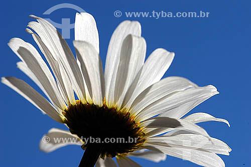Detalhe de uma  (Bellis perennis) margarida em contraluz - Flor