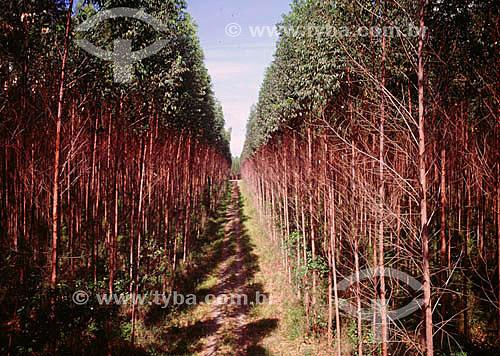 Indústria de papel Aracruz Celulose - Reflorestamento: Plantação de árvores de eucalipto.