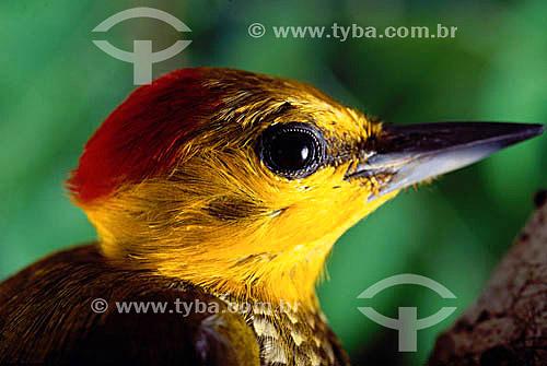 (Piculus flavigula) - Pica-Pau - Amazônia - Brasil