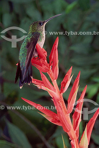 (Phaetornis boucieri) - Rabo Branco de Bico Preto - Amazônia - Brasil