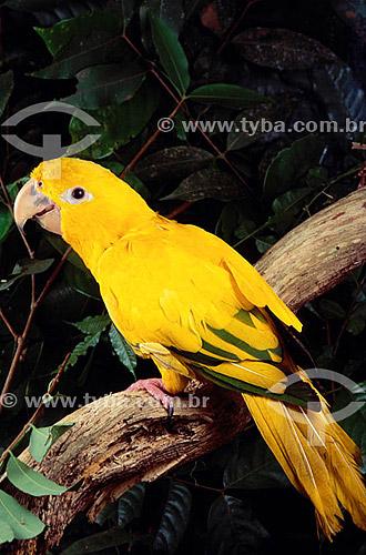 (Aratinga guarouba) - Guaruba - Ararajuba - Amazônia - Brasil