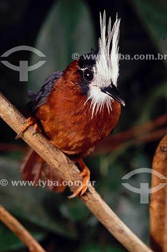 (Pithys albifrons) - Mãe-de-taoca-de-topete - Amazônia - Brasil