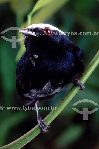 (Pipra pipra) - Cabeça-branca -  Amazônia - Brasil
