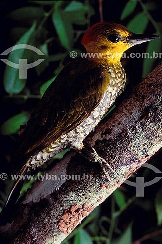 (Piculus flavigula) - Pica-Pau Bufador - Amazônia - Brasil