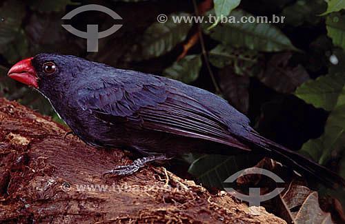 (Pitylus grossus) - Bico-encarnado - Amazônia - Brasil