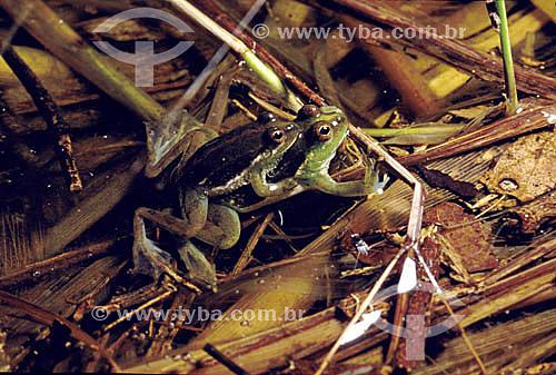 (Lysapsus limellus) - rã - Amazônia - Brasil
