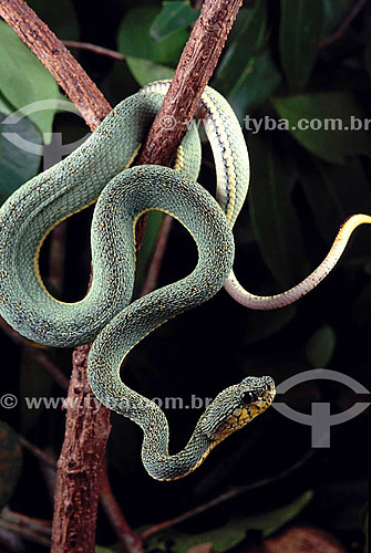 (Bothrops bilineatus) Jararaca Verde - Amazônia - Brasil