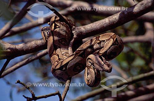 (Boa constrictor) Jibóia - Amazônia - Brasil