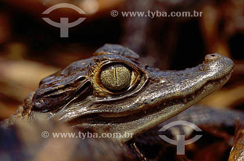 (Caiman crocodylus) Jacaré-tinga - Amazônia - Brasil