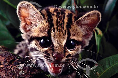 (Felis pardalis) Jaguatirica - Amazônia - Brasil