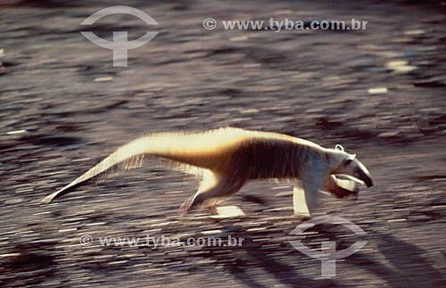 (Myrmecophaga tridactyla) Tamanduá-bandeira - Amazônia - Brasil