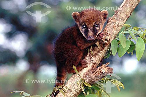 (Nasua nasua) Quati - Amazônia - Brasil