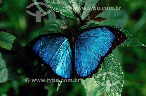 (Morpho menelaus) Borboleta-azul - Amazônia - Brasil
