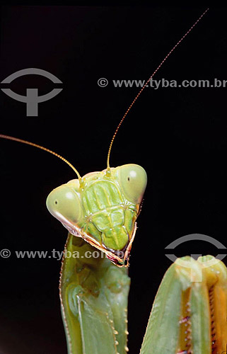 Animais - Insetos (Mantis religiosa) Louva-a-Deus - Detalhe da cabeça - Amazônia - Brasil