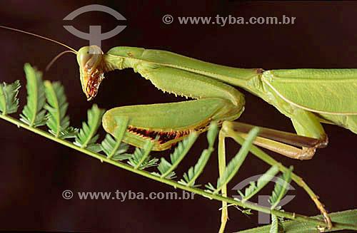 Animais - Insetos - (Mantis religiosa) Louva-a-Deus - Amazônia - Brasil