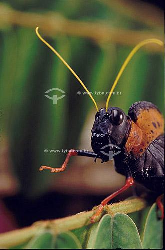 Animais - Insetos - Gafanhoto (família: Acrididae) - Detalhe da cabeça e antenas - Amazônia - Brasil