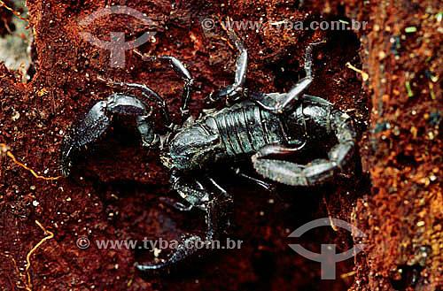 Escorpião - Amazônia - Brasil